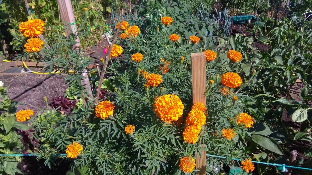 Flores de nuestros huertos