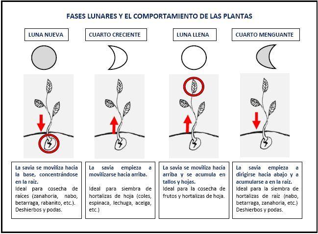 Fases lunares y comportamiento plantas