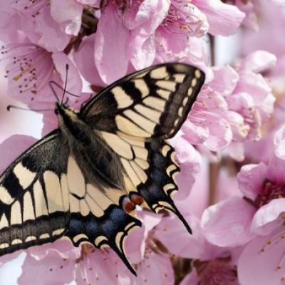Papilio kdrc 620x349 abc