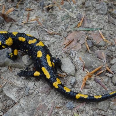 Salamandra salamandra bm3 1